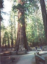 加利福尼亚树