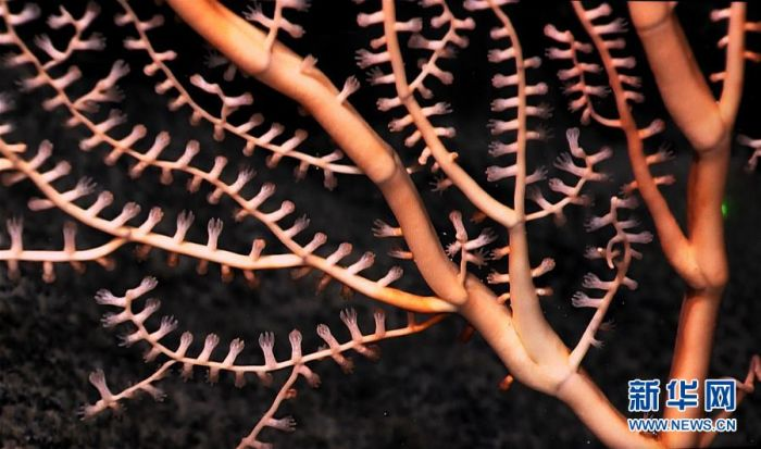 麦哲伦海山上竹柳珊瑚的珊瑚虫