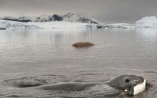 海豹捕食企鹅(组图)