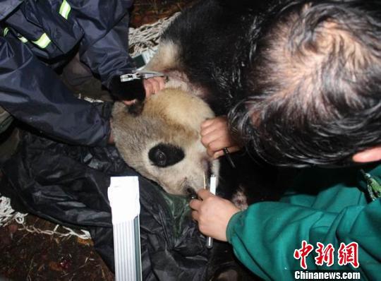 """对大熊猫""""张想""""进行体检"""