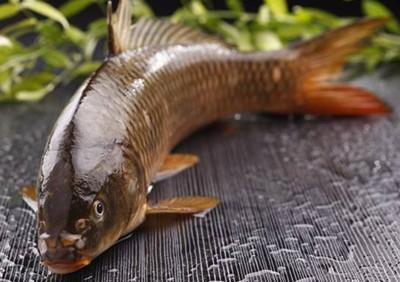 开封黄河鲤鱼