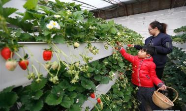 Strawberry stereoscopic cultivation raises land use efficiency in China's Shandong
