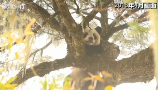 """大熊猫""""张想""""检测画面"""