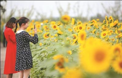 南通市北新城数百亩向日葵盛情绽放,众多市民前来赏花