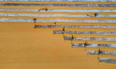 Drone photos show workers sweeping rows of rice in Bangladesh