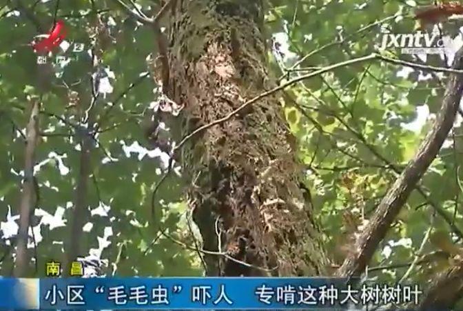 南昌这个小区,树上爬满密密麻麻的虫,根本不敢靠近
