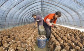 秸稈種香菇 環保又增收