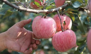 Fuji Apple harvest in Shandong
