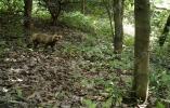 【蓝媒视频】貉是什么东东?浙江首次在安吉发现野生的它!