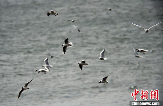 100万海鸟缘何丧生海洋?研究:罪魁祸首是海洋热浪
