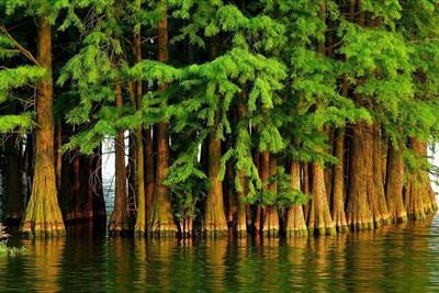 活化石水杉