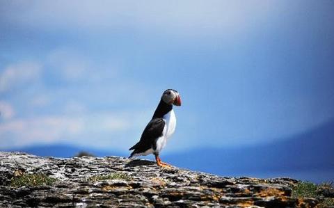 该岛是野鸟栖生的乐园,是世界上第二大的塘鹅栖息地