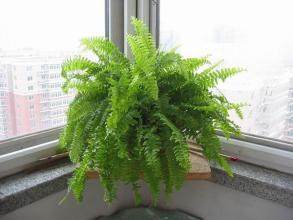 波斯顿蕨盆栽