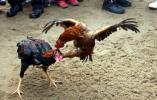 离奇!一男子被一只鸡杀了!