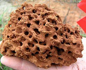 红火蚁的蚁巢