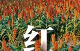 共享联盟·一起晒秋丨淳安枫树岭上高粱红